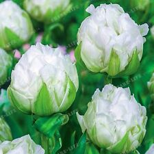 2pcs White Lce Cream Tulips Bulbs (Not Tulip Seeds)