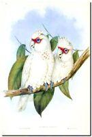 "Vintage John Gould Australian Bird Art CANVAS PRINT~ Long Bill Corella 24""X18"""