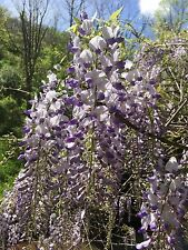"""WISTERIA VINE Starter -6"""" bare root Plant  That produce foot long lavender bloom"""