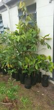 PURPLE MANGOSTEEN FRUIT TREE PLANT seedling 3 years old