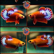New listing Live Betta Fish -Breeding Pair- Blue Marble Hellboy Star Tail Halfmoon Plakat