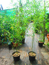 7ft-8ft Green Hedging Bamboo - Phyllostachys bissetti  10litre 7ft-8ft inc. pot