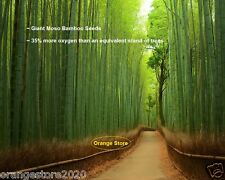 The Giant Moso Bamboo Seeds Garden Plant - 10Pcs - 35% more oxygen than Trees