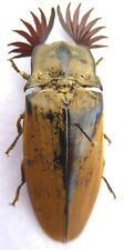 Elateridae, Tetralobus gigas male ex Tanzania, k2