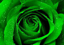 ROSE BUSH GREEN OVER 100 FRESH SEEDS FULL GROWING INSTRUCTIONS FREE POST