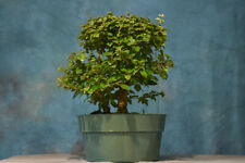 Pleasant Parrots Beak (Gmelina) Pre-Bonsai Tree! Two Trunks - Fast Grower!