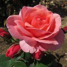 PRECIOUS GRANDDAUGHTER, 4lt Potted Floribunda Garden Rose, Pink -New & Exclusive