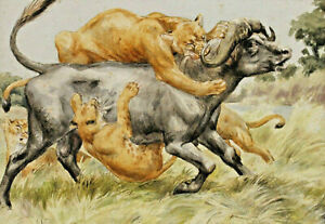 Signed S Vulkhart - Two Löwinnen on The Hunting of A Water Buffalo
