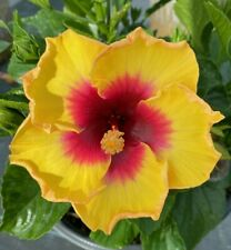EXOTIC YELLOW HIBISCUS STARTER LIVE PLANT 3 TO 5 INCHES TALL
