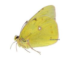Unmounted Butterfly/Pieridae - Colias aurorina sovarensis, male, RARE, A1/A-