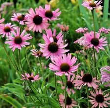 "ECHINACEA TENNESSEENSIS ""ROCKY TOP"", TENNESSEE CONEFLOWER 30 seeds"