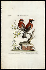 Antique Print-RED WARBLER - MALE AND FEMALE-LXI-Seligmann-Edwards-1768