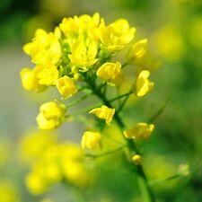 300 Graines de Moutarde Noire BIO engrais vert plante legumes potager