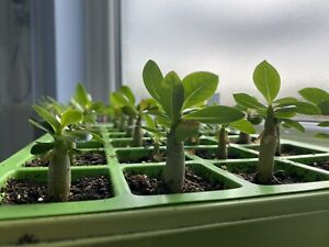 Adenium Obesum Desert Rose Seedlings
