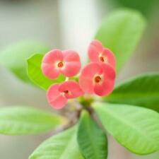 Niedrige Euphorbia Kakteen- & Sukkulenten-Pflanzen