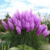 500Pc/Tasche Rare Schöne lila Pampas-Gras-Blumen-Pflanzen-Samen-Garten-Yard-Deko