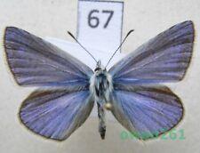 Polyommatus thersites (Cantener, 1835) male Poland67