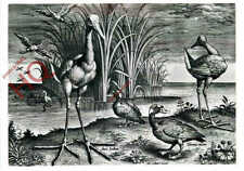 Picture Postcard__Adrian Collaert, Plate From Avium Vivae Icones, Birds