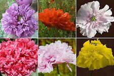 100 Seeds Filled Poppy Colorful Mix Blossom Like pfingsrosen Poppy Seeds