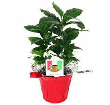Arabica Coffee Bean Live Plant 3.5