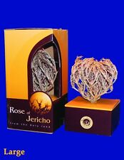 Bundle, 2 Rose of Jericho plant. The Resurrection Plant. LARGE SIZE USA Seller!