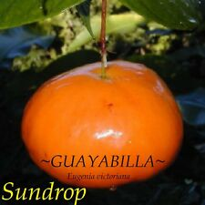 ~GUAYABILLA~ Eugenia victoriana SUNDROP FRUIT TREE 3-4+ft XL Potted Plant