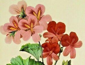 Pierre Joseph Redoute Flowers PELARGONIUM Vintage Botanical Art Book Plate Print