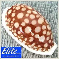 GIANT GEM! Cypraea Cribraria #15 36.7mm GORGEOUS BEAUTY from the Philippines
