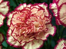 FLOWER CARNATION DOUBLE STRIPED 350 FINEST SEEDS