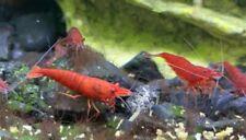 20 + 2 Fire Red Shrimp Neocaridina Davidi *local pickup in Pa, Usa*