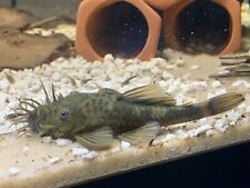 1 Shortfin Green Dragon Bristlenose  Pleco Juvenile unsexed 1-1.5 Inch.