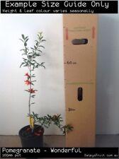 Pomegranate - Wonderful (Punica granatum) Fruit Tree Plant