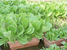 peking Chinese cabbage Vegetable seed 200 seeds pakchoibok-choy pekinensis