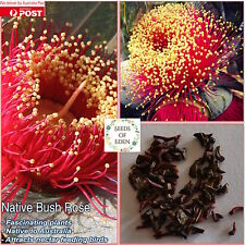 10 AUSTRALIAN BUSH ROSE SEEDS (Eucalyptus macrocarpa), Fascinating plants