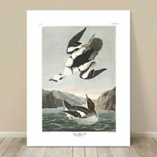 "FAMOUS WATER BIRD ART ~ CANVAS PRINT  8x10"" ~ JOHN AUDUBON ~ White Nun Duck"