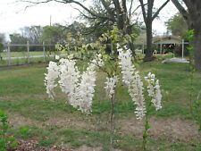 Wisteria floribunda Alba | White Japanese Wisteria | Pint Plant Free Shipping