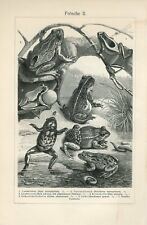 1895 FROGS and TOADS Antique Engraving Print P.Mangeldorff
