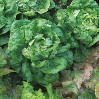 Kings Seeds - Lettuce All The Year Round - 1400 Seeds