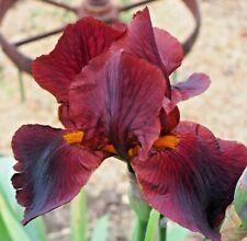 Red Rust Tall Bearded Iris 1 Plant