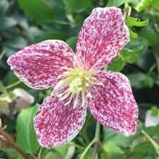 1 X VERY HEALTHY EVERGREEN FRECKLES CLEMATIS PLUG