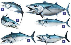 King Mackerel Beautiful Fish Decal for Boat, Vehicle, Etc. Many Sizes & Styles