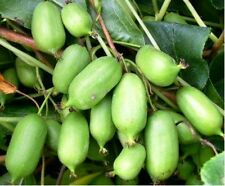 Issai Kiwi Seeds! Grows 100 #'s of fruit per plant! NO FUZZ -SUPER SWEET MINI'S!