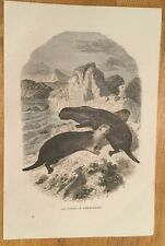 c1880 - Sea Otters Of Kamtschatka - Coloured Engraving.