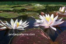 Water Lily Arc-En-Ciel Tri-color leaves plants koi pond garden J&J Aquafarms