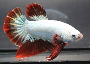 Betta Live Fight Fish Plakat Thai Aqua Red Pet Home White Premium Male Fancy New