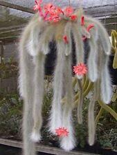 Hildewintera colademononis 'Monkey Tail' Cactus RARE x 1