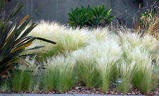 Pony Tails Ornamental Grass - 200 Seeds, 200 Milligram