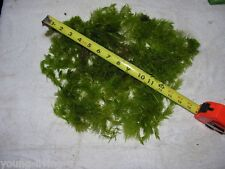 One Cup full of Live Aquarium Plant Hornwort - Snail FREE and FREE Shipping