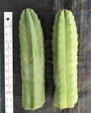"Cactus, SAN PEDRO Echinopsis Trichocereus Pachanoi 2X12"" thick tip cuttings"