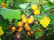 Solanum stramonifolium - Coconilla - 20 Fresh Seeds